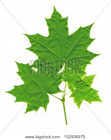 tree green maple leaves isolated on white background