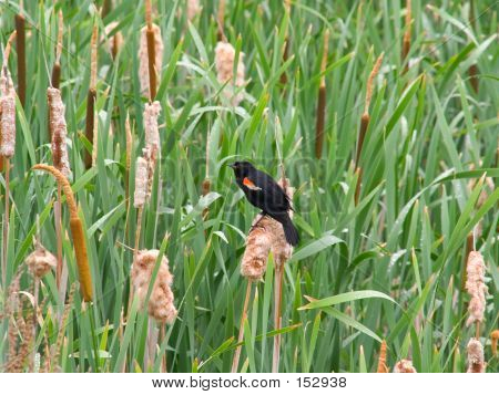 Redwinged Blackbird In Rushes