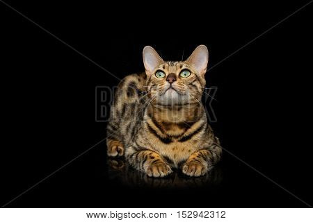 Portrait of beautiful bengal cat staring at something. Studio shot over black background. Copy space.