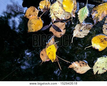 Autumnal Yellow Leaves Floating In Puddle After Rain