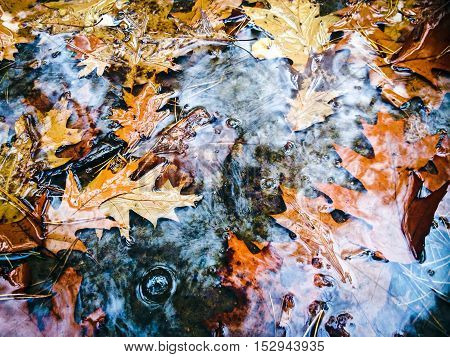 Bright Autumn Maple Leaves In Water Puddle During Rain