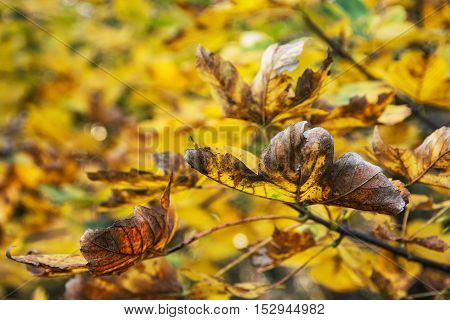 Close up photo of maple tree with cracked yellow leaves. Beauty in nature. Autumn natural scene. Vibrant colors.