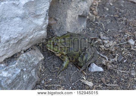 Dark green spotted frog sitting close to a stone wall picture from Island Brac in Croatia.