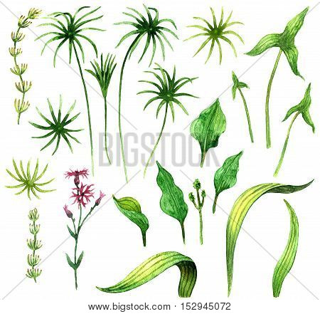 Raster realistic botanical set made with wetland plants isolated on white. Decoration and illustration for biological and botanical books and journals, design element, realistic image for maps and atlases.