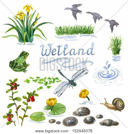 Raster colorful watercolor set of some wetland inhabitants isolated on white. Illustration for botanical and biological sources, book and magazine image, decoration of open spaces and places nearby water.