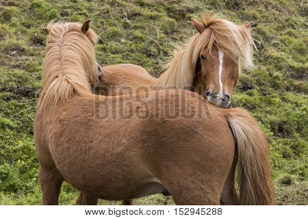 Two Icelandic Horses with great manes scratching each other on a meadow on Iceland.