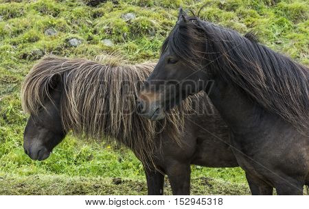 Two Icelandic Horses with great manes on a meadow on Iceland.