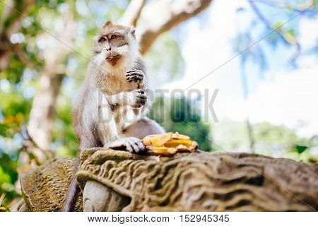 portrait of balinese monkey asian primate sitting and eating