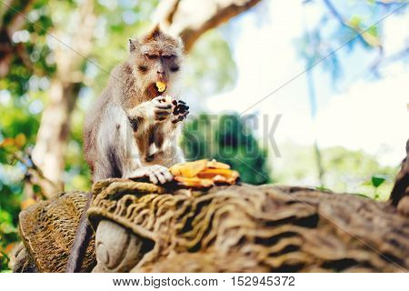 Macaque Monkey Or Long Tailed Monkey Eating Bananas. Portrait Of Primate Enjoying Lunch