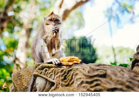 Long Tailed Monkey Enjoying Bananas In Natural Habitat