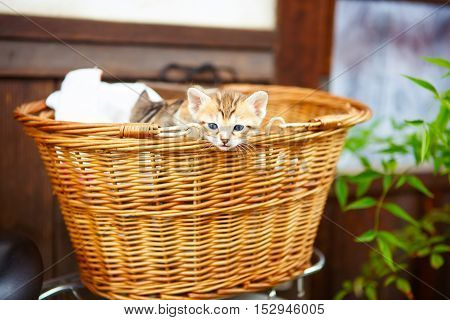Three little baby kittens in a basket. Cute beautiful domestic animals.