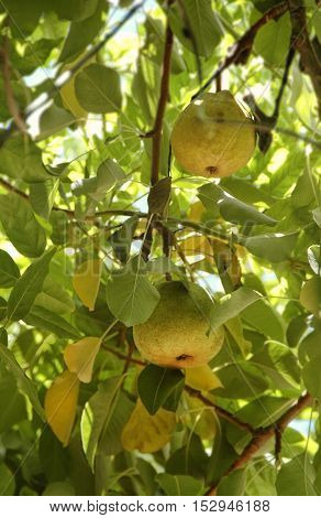 Ripening pears hidden in high branches, secret fruit