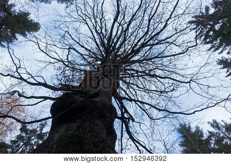 Silhouette of a big tree without leaves at autumn
