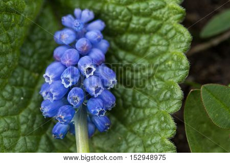 Spring flower. Violet flower close up. Mountain flower. Spring flowering meadows. Grape hyacinth.