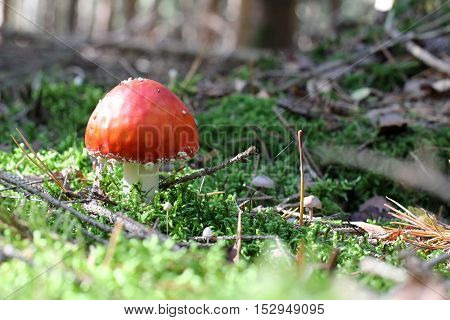 Poisonous mushroom fly agaric with beautiful red hat