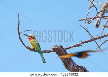 Close-up Of A Cute Colorful Bee Eater Perched On Acacia Tree Branch. Telephoto View, Clear Blue Sky.