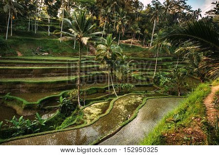 Rice Cultivation In Bali, Indonesia. Rice Terraces With Sky Reflecting During Golden Hour At Evening