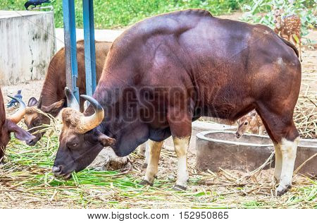 Grazing buffalo with full of hungry eating grass