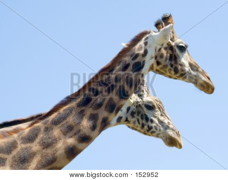 Two Headed Giraffe?