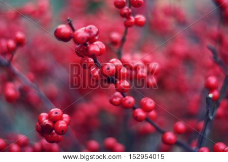 Brunch with berries of buckthorn - a symbol of Christmas holiday