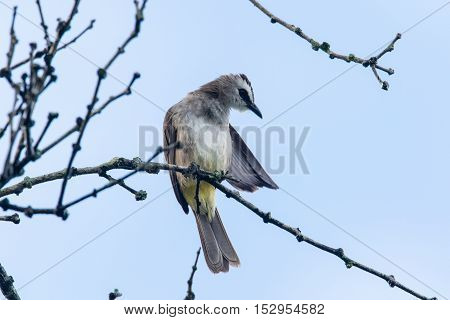 a yellow vented bulbul perching and cleaning itself