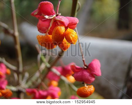 wolf berries red ripened growing in a forest