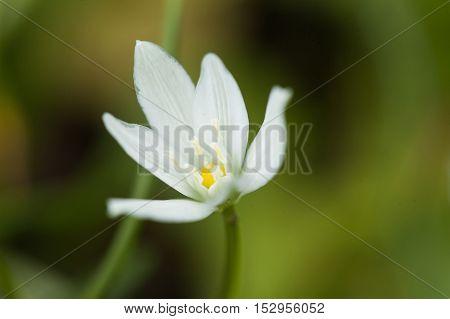 Mountain snowdrops in a grass. Spring snowdrops. First spring flowers. White flowers in a grass.