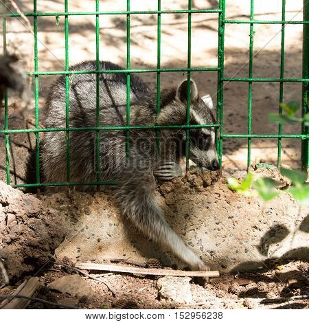 Raccoon in a cage at the zoo on Fuerteventura