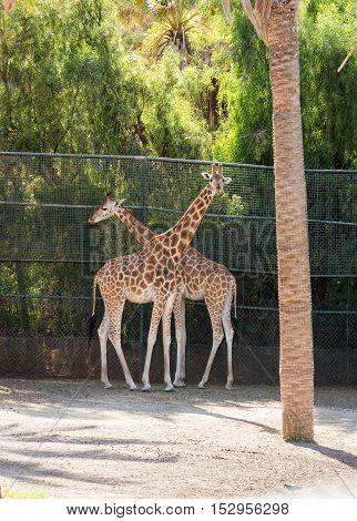 giraffes in the zoo safari park on Fuerteventura