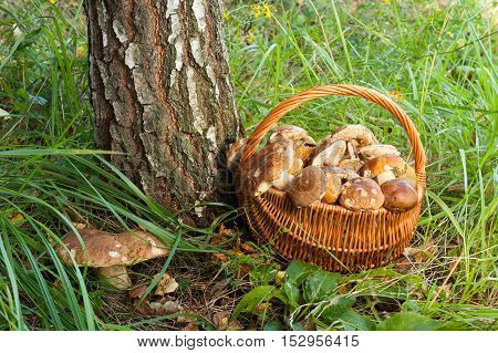 Close Up Wicker Basket With Edible Mushrooms And Growing Large Mushroom Boletus Edulis Near Birch In Forest.