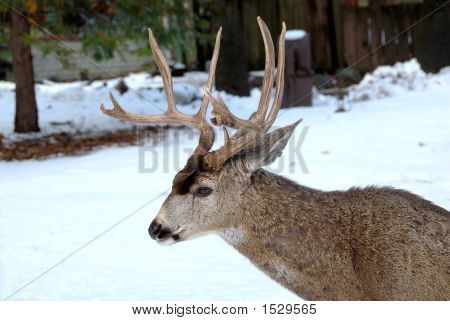 10 Point Buck Deer