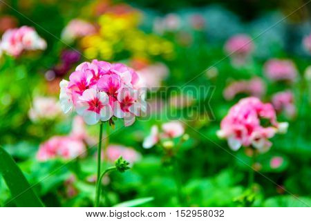 Selective focus of little pink and white daisy flower vibrant color with leaves background in the garden.