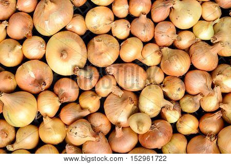 A lot of bright beautiful bulb onions. Abstract background.