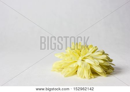 Yellow chrysanthemum flower closeup on a white background.