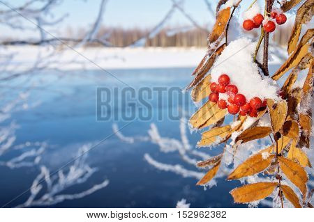 The branch of snowy mountain ash on the riverbank