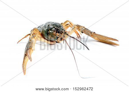 live crayfish fished as a trophy fisherman