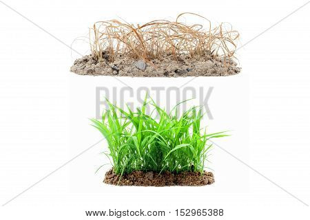 Young green grass growing out of the ground and dry grass on pile soil isolated on white background