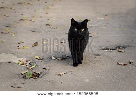 Black cat with green and yellow eyes walking on the road covered with autumn leaves