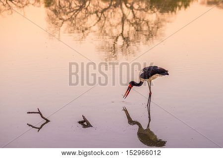 Saddle-billed Stork Fishing In The Water With Prey In The Beak. Scenic Sunset Light. Mapungubwe Nati