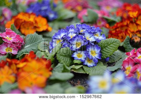 Colorful garden flowers in early spring with blurred background