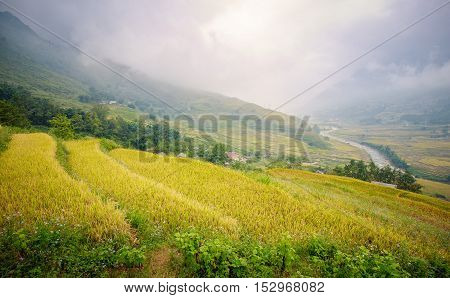 Green and yellow rice terraces surrounded by mountain and river covered by fog all day at Lao Chai village of Sa Pa Vietnam