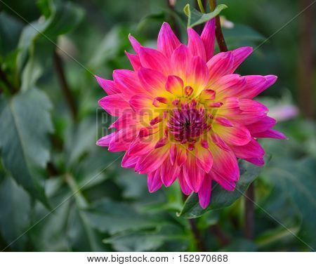 detail blooming dahlias region Lower Austria Austria