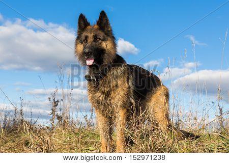 German shepherd on a blue sky background