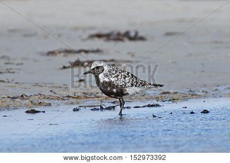 Grey plover (Pluvialis squatarola) standing in water in its habitat