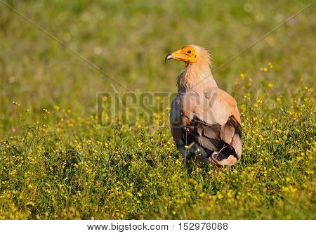 A Egyptian vulture on a flowery field.