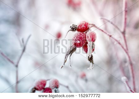 Rosehip berries covered with hoarfrost in frosty winter day.