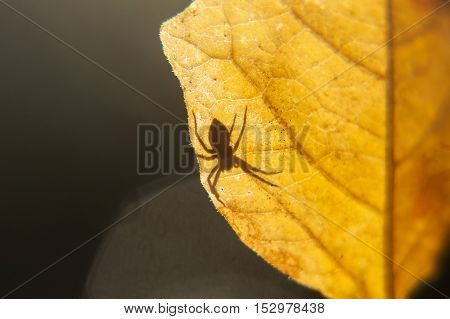 Shadow of a spider on a yellow leaf. Spider on a leaf on a gleam. Spider on a yellow leaf.