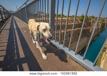 Dog walking on the bridge on the Corinto Canal in Greece, Peloponnese, Europe.