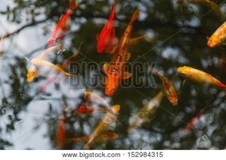 Bright gold and red carp swim in clear aquarium. Fish closeup