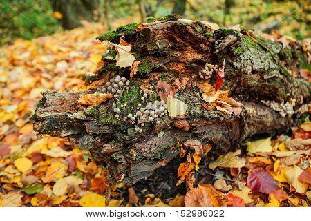 Mushrooms on an old tree stump close-up